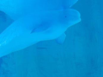 Oceanogràfic: Belugas