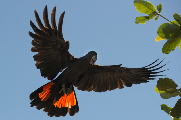 red-tailed-black-cockatoo